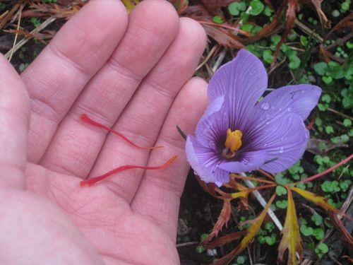 دوره آموزشی کاشت زعفران گلخانه ای